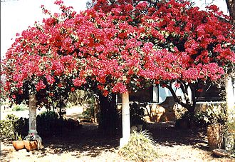 Bulawayo - Bougainvillea outside a Bulawayo home