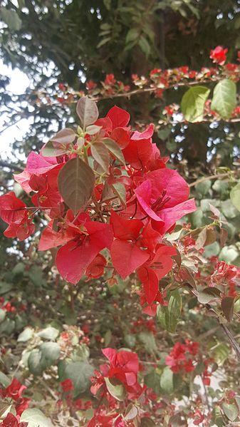 File:Bougainvillea flower in Peshawar.jpg