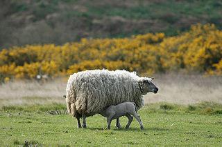 Races de moutons dans MOUTON 320px-Brebis_agneau
