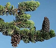 Pine Branch Ring Freeearthtrade
