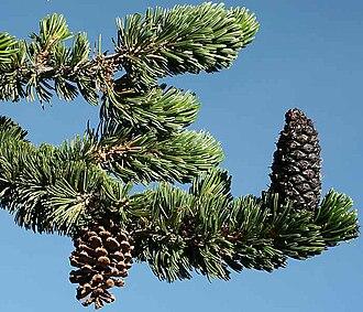Pinus longaeva - Needles and cones, Snake Range, Nevada