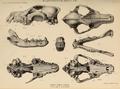 British Pleistocene Mammalia (1866) Wolf Cranium & Jaws.png