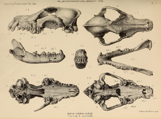 Megafaunal wolf - Pleistocene wolf skulls and jaws from Hutton and Banwell Caves, (Somerset) and Oreston Cave (Plymouth), England