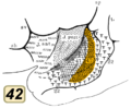 Brodmann area 42 inside lateral sulcus.png