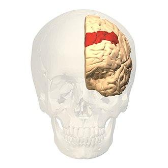 Brodmann area 9 - Image: Brodmann area 9 frontal