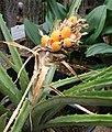Bromelia balansae IMG 2420.jpg