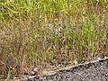 Bromus japonicus (3860477633).jpg