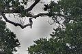 Brown-cheeked Hornbill from Canopy Walkway - Kakum NP - Ghana14 S4E1663 (16016189328).jpg