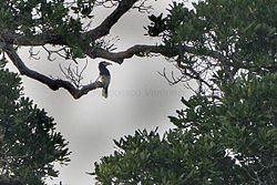 Brown-cheeked Hornbill from Canopy Walkway - Kakum NP - Ghana14 S4E1663 (16016189328).jpg