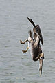 Brown Pelican Diving 3-3 (used in NYPL article on the Gulf Oil Spill Disaster) (2843864615).jpg