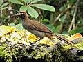 Brown Sicklebill . Epimachus meyeri, female (48885366093).jpg