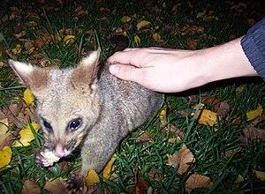 Treasury Gardens - A tame possum in the Treasury Gardens