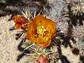Buckhorn Cholla, Opuntia acanthocarpa - panoramio.jpg