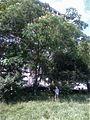 Bucuresti, Romania. 20 Iunie, aproape de Sarbatoarea Sanzienilor, 24 Iunie (Plenitudinea naturii).jpg