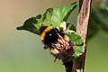 Buff-tailed bumblebee (Bombus terrestris) 2.jpg