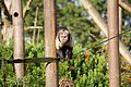 Buffy-headed Capuchin at Chester Zoo 5.jpg
