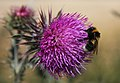 Bumble bee on thistle - geograph.org.uk - 901157.jpg