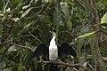 Burgers Zoo Mangrove Kleine bonte aalscholver.jpg