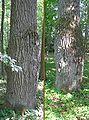 Burl quercus robur 1 bialowieza beentree.jpg