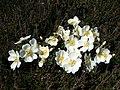 Burnet rose (Rosa pimpinellifolia) - geograph.org.uk - 846636.jpg