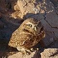Burrowing Owl (24652969189).jpg