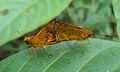 Bush hopper - Ampittia dioscorides 2.JPG