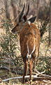 Bushbuck at Borakalalo National Park, South Africa (10001388453).jpg