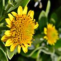 Bushy seaside oxeye - Borrichia frutescens (14009707015).jpg