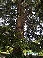 Cèdres du Liban Anduze (Gard) (4).jpg