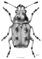 COLE Anthribidae Gynarchaeus ornatus f.png