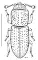 COLE Bothrideridae Anommatus duodecimstriatus.png