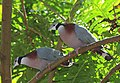COLLARED IMPERIAL PIGEON (8443702650).jpg