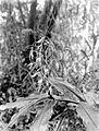 COLLECTIE TROPENMUSEUM Hedychium op de Tangkoebanprahoe TMnr 10006132.jpg