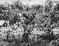 COLLECTIE TROPENMUSEUM Verouderde Robusta koffieaanplant zonder schaduw TMnr 20014117.jpg