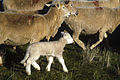 CSIRO ScienceImage 2030 A Paddock With Sheep in it.jpg