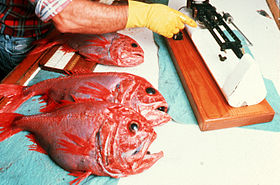 CSIRO ScienceImage 2948 Orange Roughy.jpg