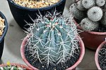 Cactaceae-Cactus in Thailand by Trisorn Triboon 6.JPG