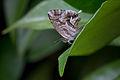 Cacyreus marshalli - 01.jpg