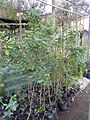 Caesalpiniaceae - Cassia frondosa Aiton (5985942223).jpg