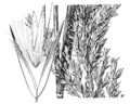 Calamagrostis canadensis var. canadensis (as C. scribneri) HC-1950.png
