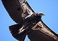 California condor -568. (36427714652).jpg