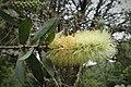 Callistemon pallidus kz01.jpg