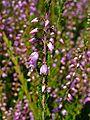 Calluna vulgaris 0002.JPG