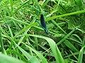 Calopteryx vierge - Mâle - 01.jpg