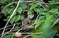 Calotes versicolor, Sri Lanka 01 (js).jpg
