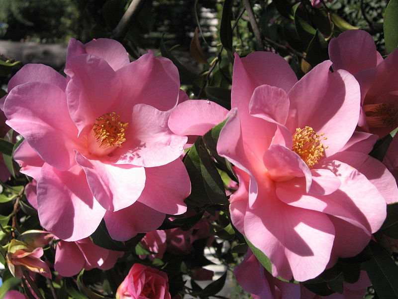File:Camellia x williamsii 'Brigadoon'.JPG