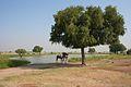 Camels at Oasis (6652764455).jpg