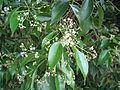 Camphor Laural flower (5066893753).jpg