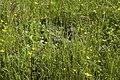 Canard colvert femelle (Anas platyrhynchos)-2.jpg