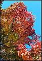 Canberra Autumn Leaves-07 (37122917976).jpg